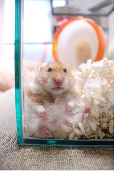 Hamster unten hamtaro haus bequemen