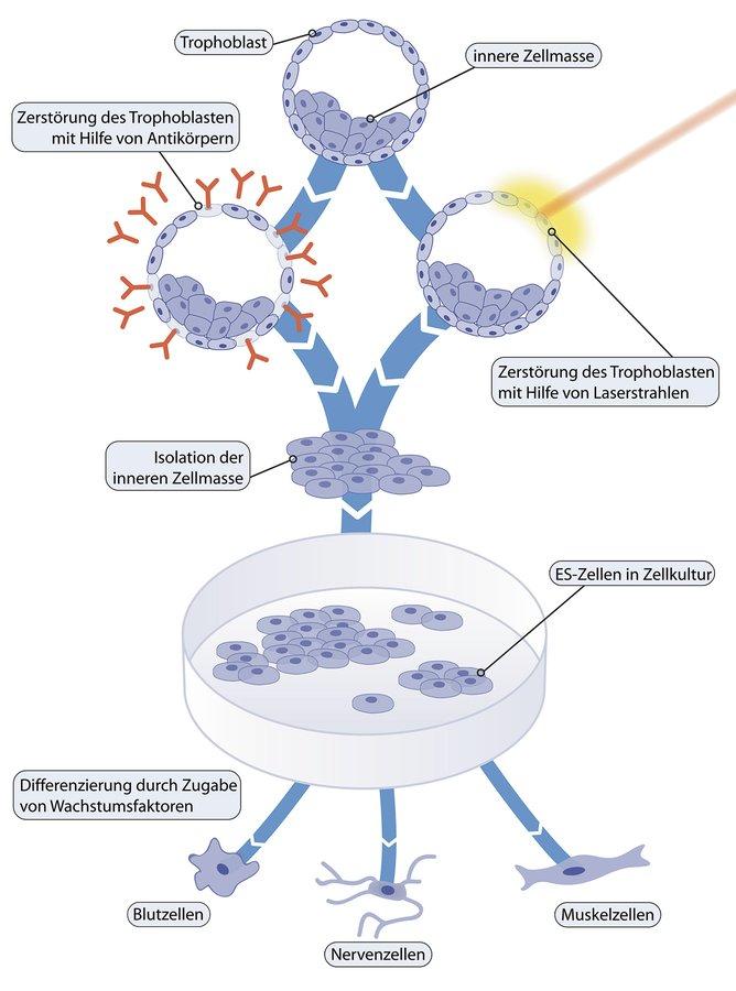 Zelle embryonalen stammzellen vs erwachsenen zelle