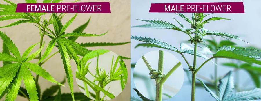 Marihuana pflanzen mannliche vs preflowers weibliche