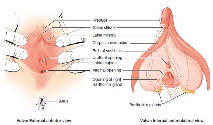 Vagina muskel kontrolle und milch,
