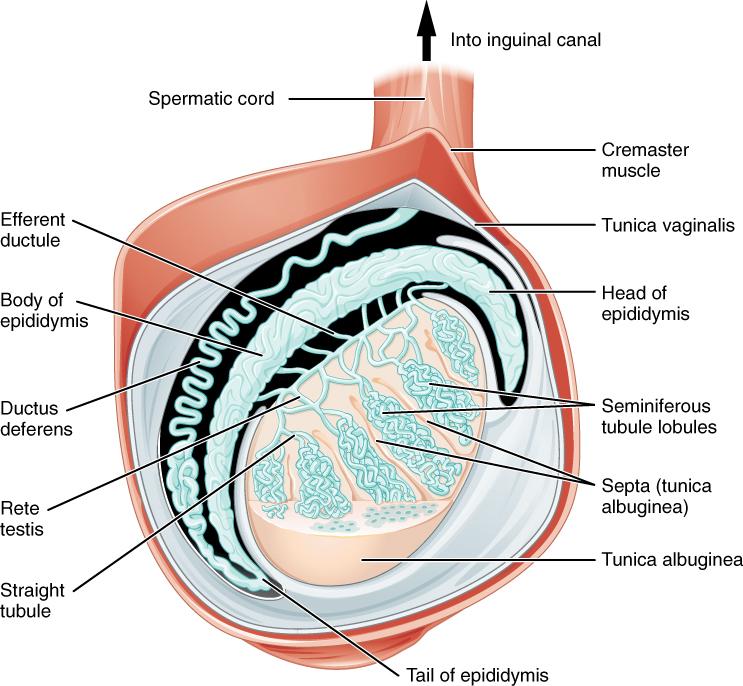 Lagerung in spermien quail tubuli