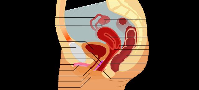 G punkt diagramm sex weibliche harter